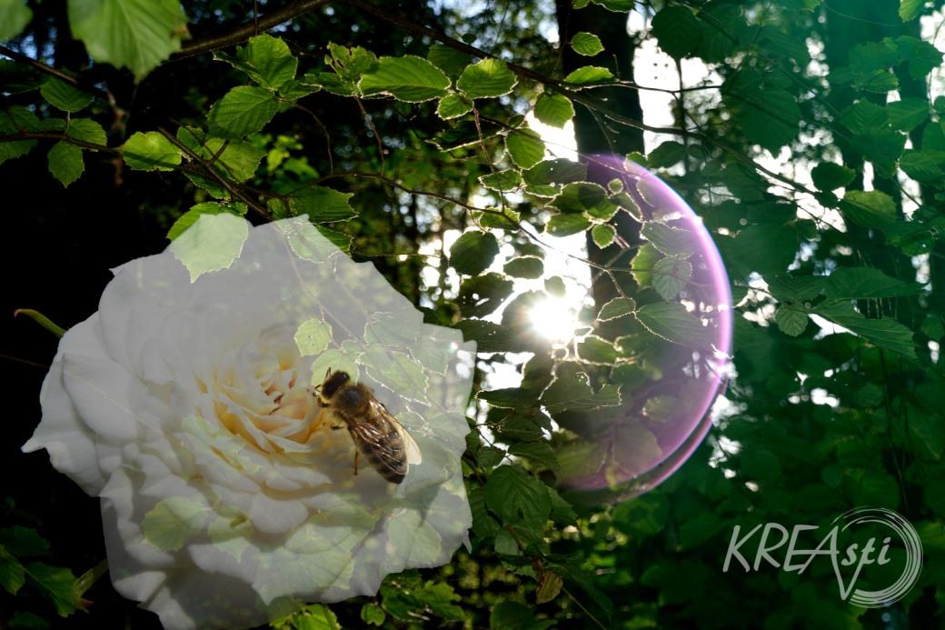 Rose und Sonne