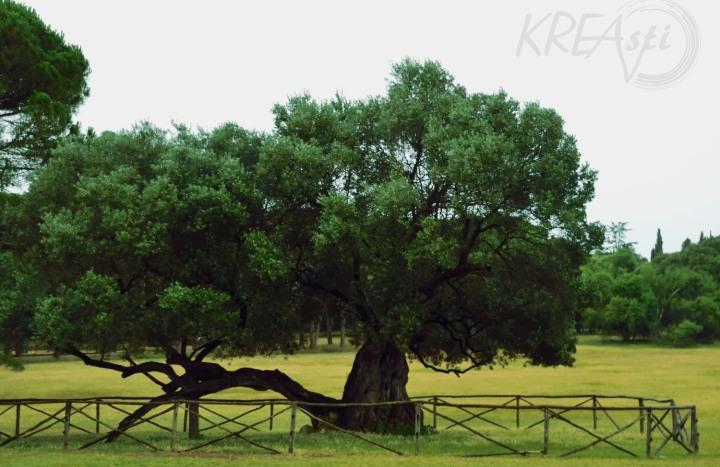 Mit 1600 Jahren der älteste Olivenbaum Kroatiens auf der Insel Brijuni