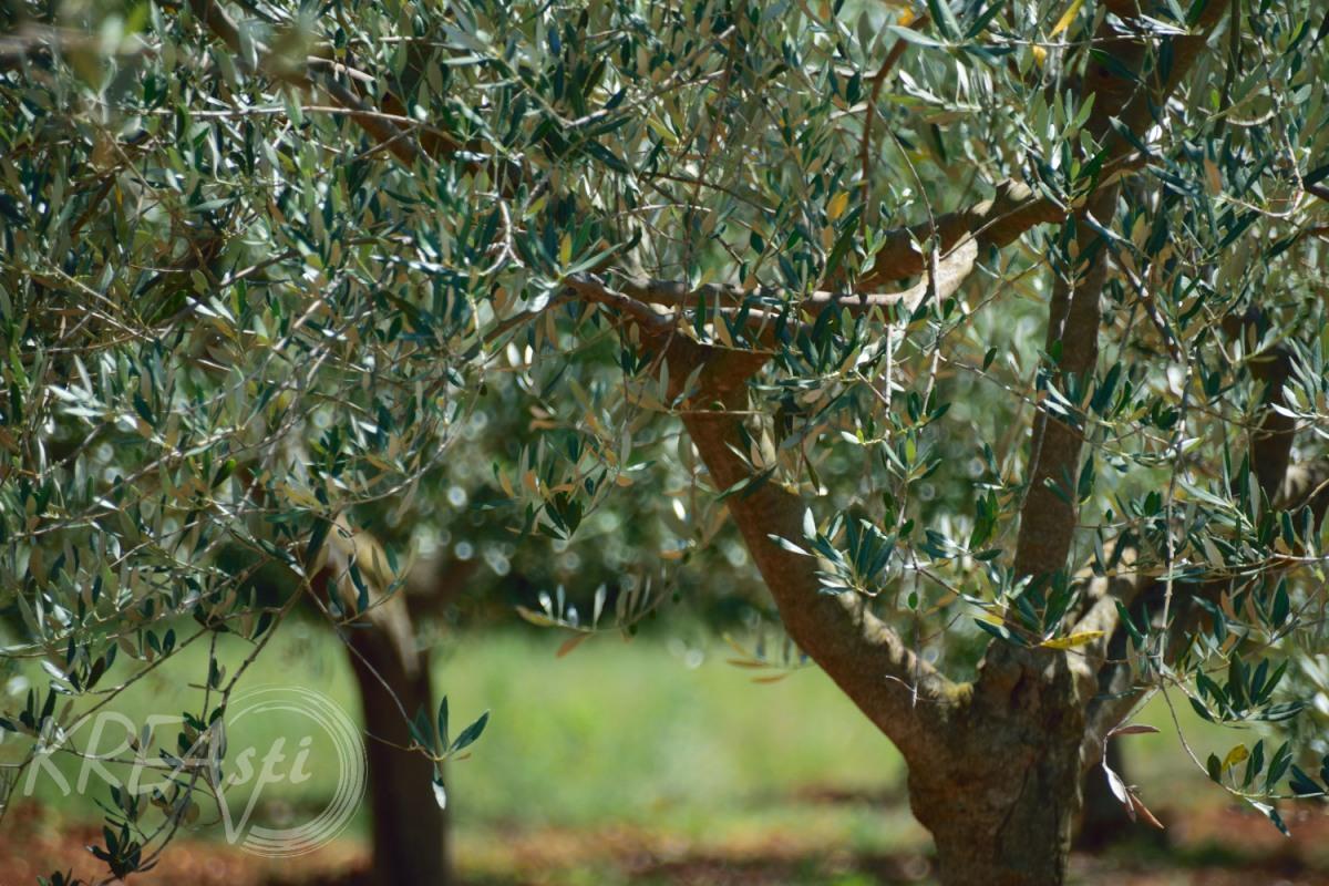Der Baum des flüssigen Goldes - Croatia Teil 4