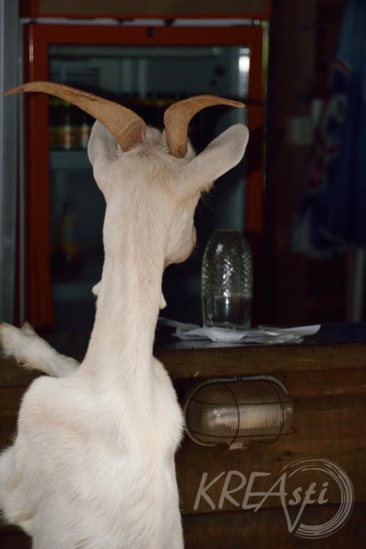 Durstige Ziege im Nationalpark Brijuni