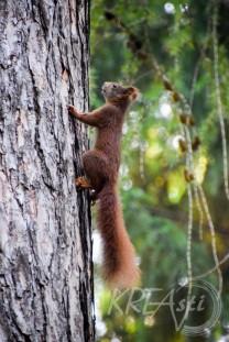 Eichhörnchen-3